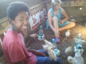 socializing baby chicks