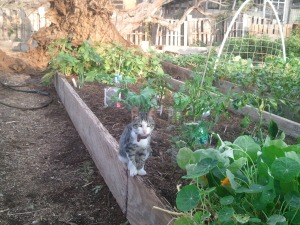 Pumpkin (as an orphan he would sleep under the pumpkin plants for shade) guarding a newly planted bed. We worked hard to create soil on this island of rock!